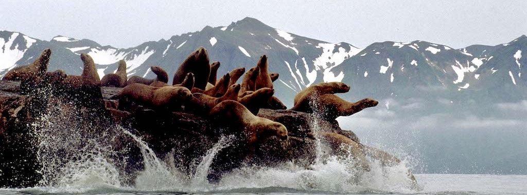 Alaskan Sea Lions