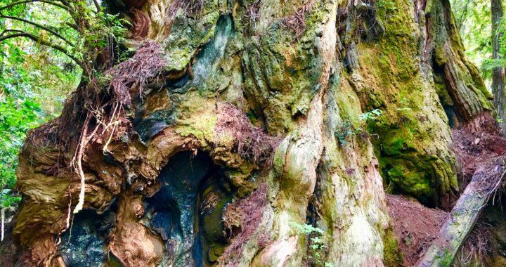 Prarie Creek Redwoods State Park, Hoopla, California