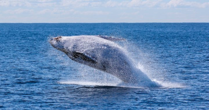 Gray whale breaching. Photo by Georg Wolf on Unsplash